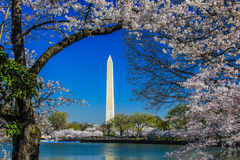 Cherry Blossom Festival - Washington Monument Stock Image