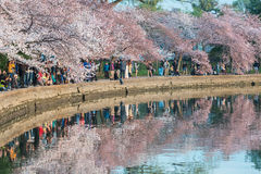 Cherry Blossom Fever Stock Photo