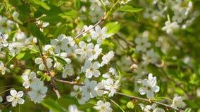 Cherry Blossom filial arkivfilmer