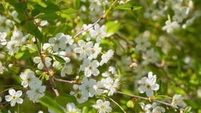 Cherry Blossom filial Royaltyfria Bilder