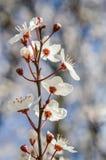 Cherry Blossom filial Royaltyfri Fotografi