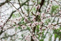 Cherry Blossom filial Arkivfoto