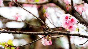 Cherry Blossom filial Arkivbild