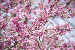 Cherry Blossom photos stock