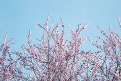 Cherry Blossom photos stock
