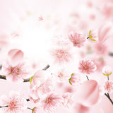 Cherry Blossom, fleurs de Sakura ENV 10 Photos stock