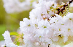 Cherry Blossom Floral Background blanc Photo stock