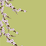 Cherry Blossom Flores de Sakura Fondo floral Imagen de archivo libre de regalías