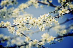 Cherry blossom flower Stock Photography