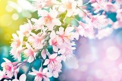 Cherry blossom flower Stock Photos