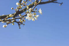 Cherry blossom flower Royalty Free Stock Photos