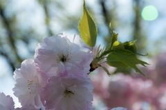 Cherry blossom flower close-up. Cherry blossom flower during spring close-up Stock Image