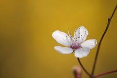 Cherry blossom flower close up Royalty Free Stock Photos