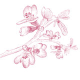 Cherry Blossom Flower d'annata Fotografia Stock