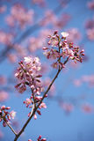 Cherry blossom flower Royalty Free Stock Images