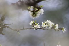 Free Cherry Blossom Flower In Foggy Blurry Background For Relaxing Serenity Royalty Free Stock Photography - 155958207