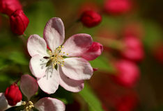 The cherry blossom flower macro shot Stock Image