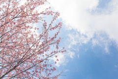 Cherry blossom flower and sky clouds Royalty Free Stock Photography