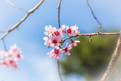 Cherry blossom flower and sky clouds Royalty Free Stock Images