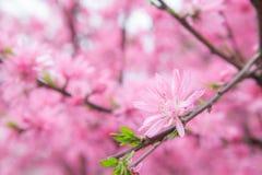 Cherry blossom flower Stock Image