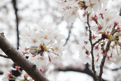 Cherry blossom flower Royalty Free Stock Photo