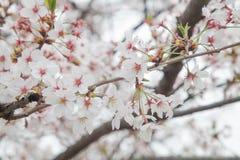 Cherry blossom flower Stock Photo