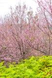 Cherry blossom flower and tree. Beautiful cherry blossom tree and fern at Phu Lom Lo, Phitsanulok Thailand Stock Image