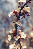 Cherry blossom flowers on a vertical tree branch Royalty Free Stock Photos