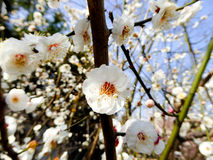 Cherry blossom flowering Royalty Free Stock Photo
