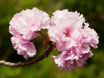 Cherry blossom flowers. Cherry flowers during spring blossom in a  Japanese garden Royalty Free Stock Image