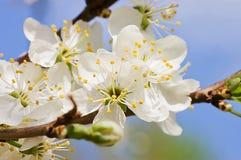 Cherry Blossom Flowers Stock Photos