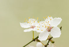 Cherry blossom flowers. Natural light. Macro. Differential focus royalty free stock image
