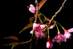 Cherry blossom flowers in blooming scene nature background Royalty Free Stock Images