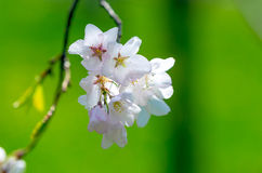 Cherry blossom flowers. Branch of Cherry blossom flowers in spring time Stock Photography