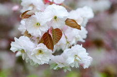 Cherry blossom flowers Royalty Free Stock Photos