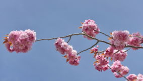 Cherry Blossom Flowers Royalty Free Stock Images
