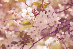 Cherry blossom flowers close up Stock Images