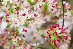 Cherry blossom flowers Royalty Free Stock Photos