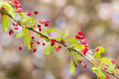 Cherry blossom flowers Stock Image