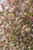 Cherry blossom flowers Stock Photo