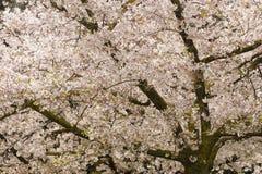 Cherry blossom flowers Royalty Free Stock Photo