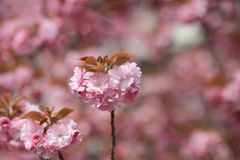 Cherry blossom flowers in garden at Japan Mint Stock Photos