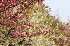 Cherry blossom flowers in garden at Japan Mint Stock Images