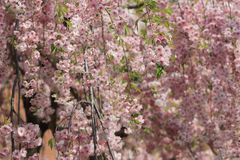 Cherry blossom flowers in garden at Japan Mint, Stock Photo