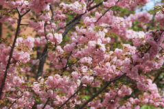 Cherry blossom flowers in garden at Japan Mint Royalty Free Stock Photos