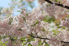 Cherry blossom flowers in garden at Japan Mint Royalty Free Stock Photography