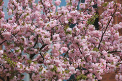 Cherry blossom flowers in garden at Japan Mint Stock Photo