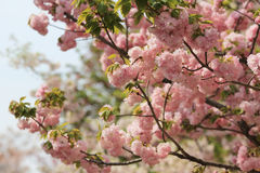 Cherry blossom flowers in garden at Japan Mint Royalty Free Stock Images