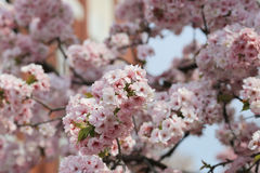 Cherry blossom flowers in garden at Japan Mint Stock Image