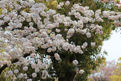 Cherry blossom flowers in garden at Japan Mint Stock Photography